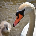 Swan and cygnet on the river Avon